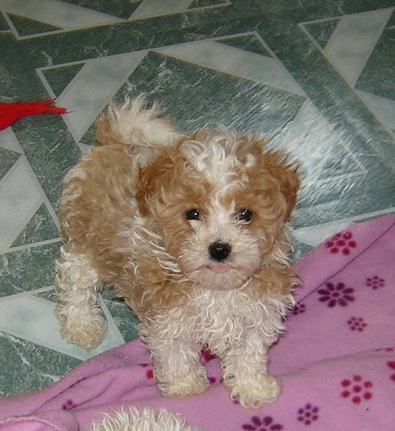 Maltipoo puppy: Maltipoo Dogs, Dogs Babies, Pur Puppies, Highlanders Puppies, Maltipoo Puppies, I Will, Nice Dogs, Dogs Baby, Animal