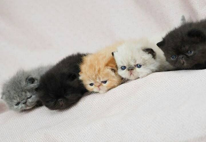 exotic shorthair kittens - a litter of five