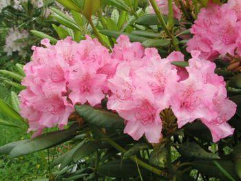 rhododendron_haaga_turunsaaristo_kristiantheqvist.jpg