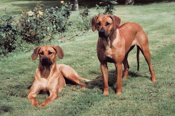 Todo sobre la raza de perro crestado rodesiano