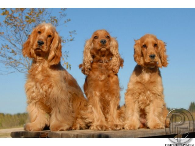 Cocker Spaniel Dog For Sale At Best Price In Mumbai Maharashtra