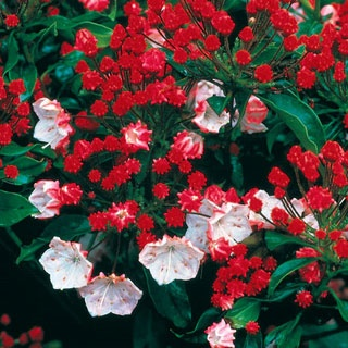 'Olympic Fire'will set your garden ablaze with dark red buds eruptining into beautiful pink flowers making a sensational color contrast against the dark, evergreen foliage.