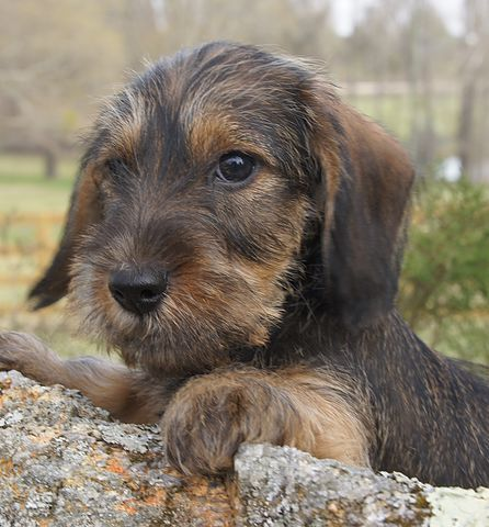 Willow Springs Miniature and Standard Wirehaired Dachshunds | Puppies