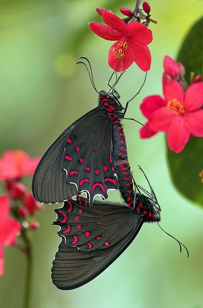 Parides Photinus Butterflies Mating on Peregrina flowers....Awesome!