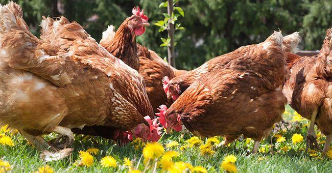 McDonald's: stop alle galline in gabbia ora potranno morire felici...senza parole!