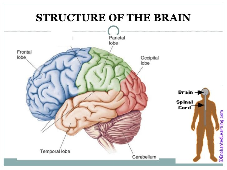 Structure Of The Brain S      Slideshare Net  Sil14  The