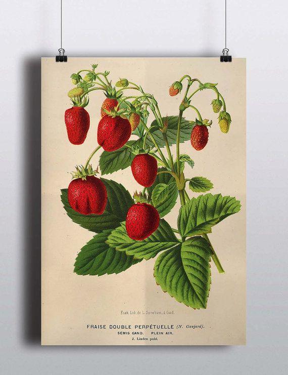 Antique 1800s Strawberry Botanical Poster -- SALE PRINT 40% OFF -- Fruit Print Fruit Poster Illustration Kitchen Decor Home Decor Wall Art