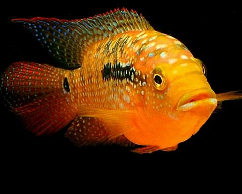 Jack Dempsey cichlid, I have 2, very cool fish