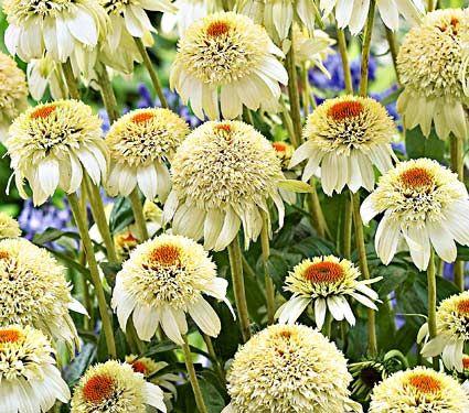 """Echinacea purpurea Milkshake.  Common Name: Coneflower  Hardiness Zone:  5-9 S / 5-9 W  Height: 30""""+  Exposure: Full Sun  Blooms In: July-Aug  Spacing: 24-30"""""""