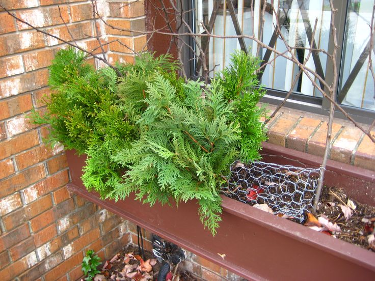 Filling chicken wire form with evergreen cuttings for winter window boxes