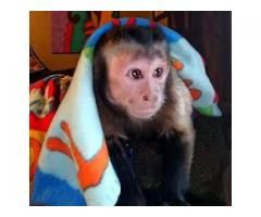 BABY CAPUCHIN  MONKEYS FOR SALE HOME TRAINED.