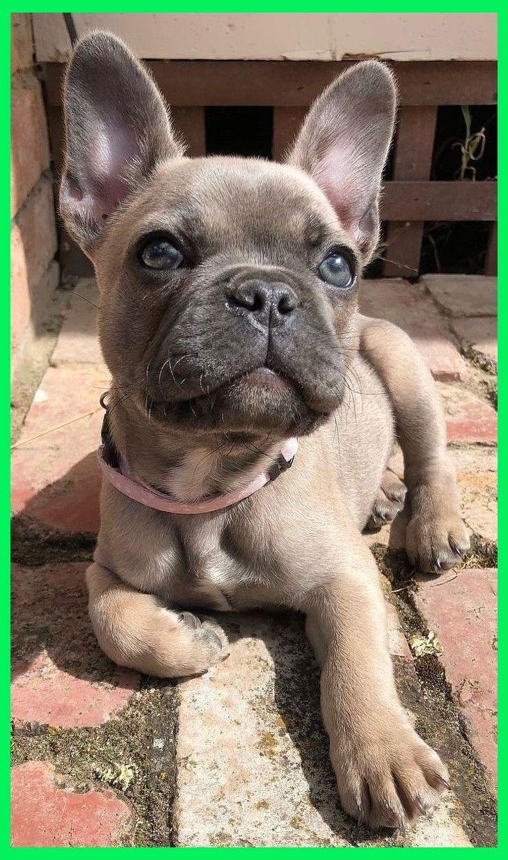 Pin On English Bulldog Puppies Training