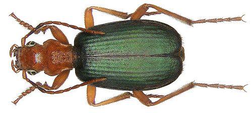 Escarabajo bombardero - Brachinus crepitans
