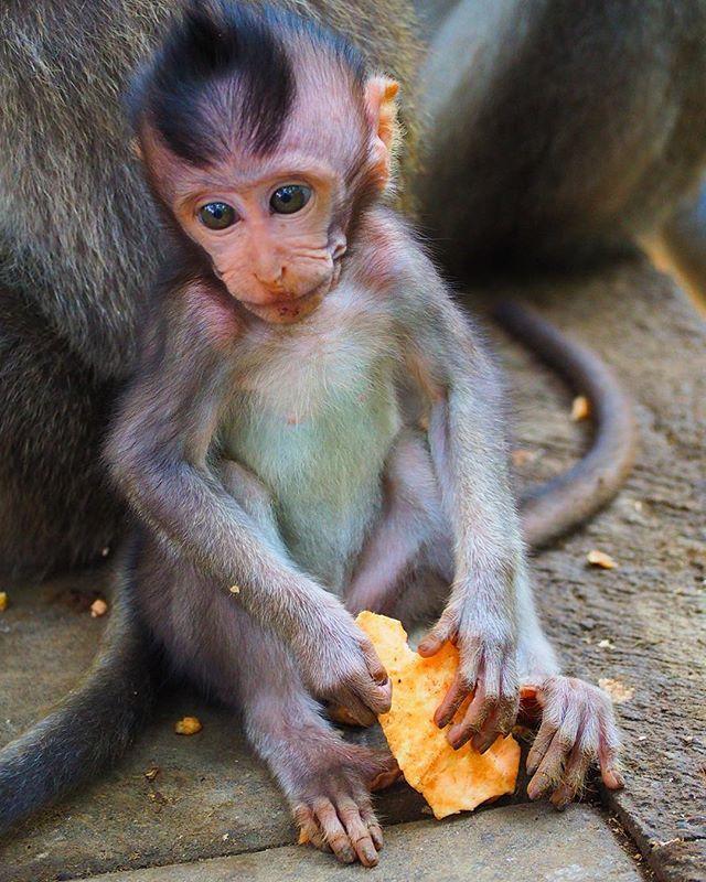 Ok, it's official! The cutest creature in the World 😍😍😍🐒 #baby #monkey #thecutest #love #animals #wildlife #nature #zwierzeta #malpeczka #animalslovers #beauty #sosmall #monkeyforest #bali #ubud #indonesia #travel #podróże #photooftheday