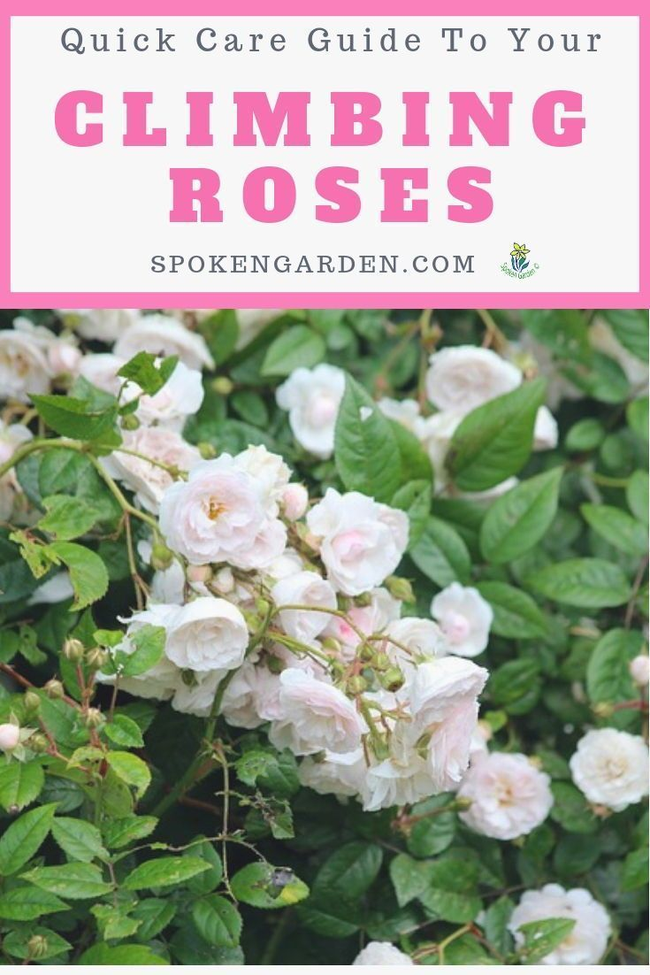 Learn How To Care For Your Climbing Roses Including Basic