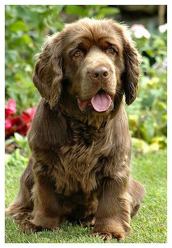 Sussex Spaniel Apartment Best 25+ Sussex spanie...