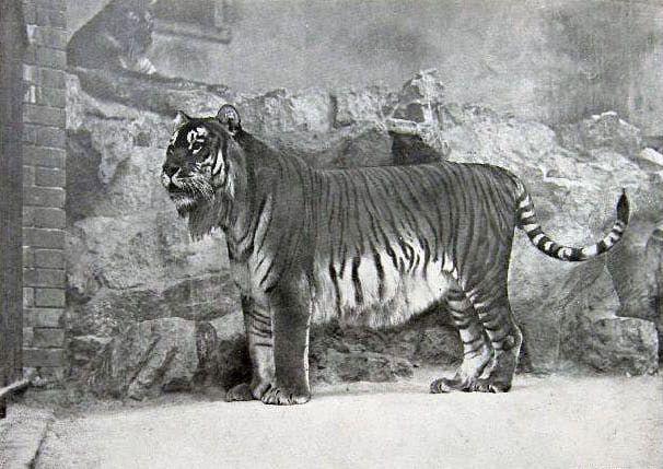 Caspian Tiger - Extinct