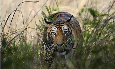 in reserves Tigers  shoes tiger training India and to Conservation philippines A   India     s price guide