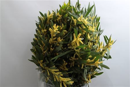 Mimosa Rups Pbs Height: 60cm Quantity: 5 stems Price: £35