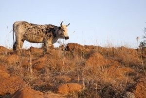 The history of the #Zulu Tradition of Naming Nguni #Cowhides