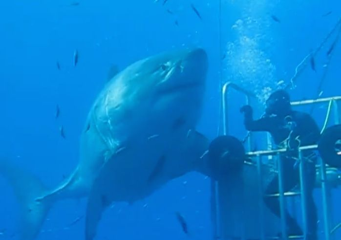 Largest great white shark ever videotaped underwater? Read more at http://www.grindtv.com/wildlife/largest-great-white-shark-ever-videotaped-underwater/#DVgWRzz1ss87QmWj.99
