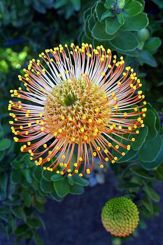 Pincushion protea (Leucospermum cordifolium), at Monte Palace Tropical Garden, Monte, Funchal, #Madeira Island. Photo by Virgilio Silva