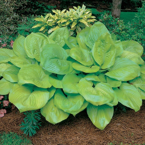 "Hosta 'Sum and Substance' - Z2, 36""H x 50""W, early emerging, fast grower, can tolerate full sun, one of 10 best for good slug resistance, 2004 Hosta of the year , 2015 Benedict Award, AHS #5 of top 20."