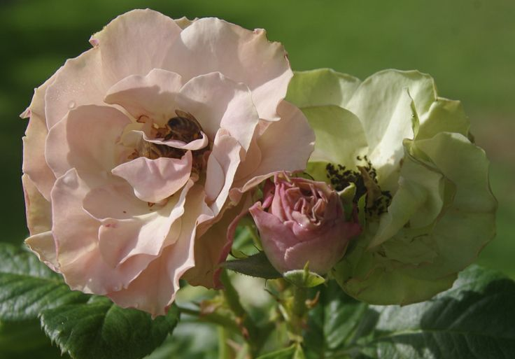 The Greensleeves rose in bloom.