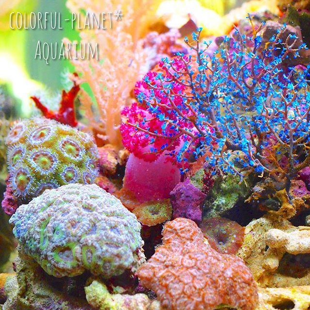 【colorful_planet.pasya】さんのInstagramをピンしています。 《お気に入りの場所に、カクオオトゲキクメイシの丘を作ってます派手なのが欲しい✨  #海水水槽#サンゴ#珊瑚#コーラル#オオトゲトサカ#マイアクアリウム#アクアリウム#カクオオトゲキクメイシ#sea##iphone#myaquarium#aquarium#coral#coralreef#saltwatertank#ソフトコーラル#陰日性サンゴ#ウミトサカ#キレイ#綺麗#ファンタジー#ファンタスティック#beautiful#fantastic#カラフル#colorful》
