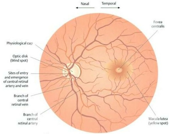 diabetic retinopathy thesis This dissertation is brought to you for free and open access by the  diabetic  retinopathy (dr) is a disease that affects up to 80% of diabetics.