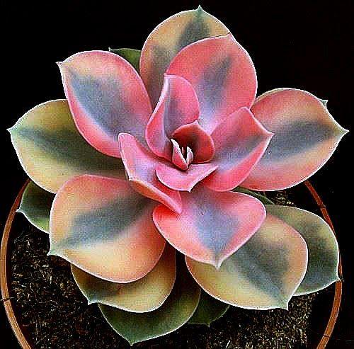 Суккуленты - цветы пустыни Echeveria Rainbow