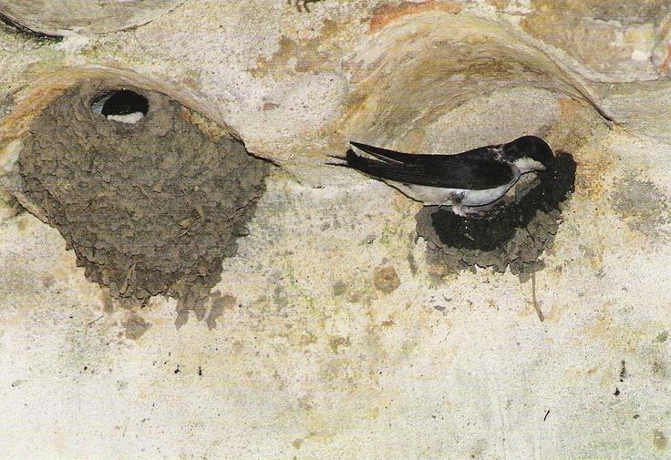 Andorinha-dos-beirais (Delichon Urbica), Santarém, Portugal. Sent to Taiwan,