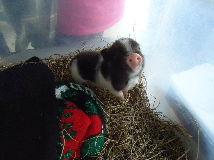 Aww, baby pig!
