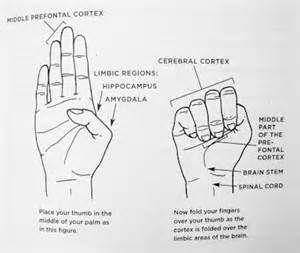 dan siegel hand model of the brain - Bing Images
