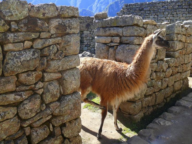 72 Best Alpaca Images On Pinterest