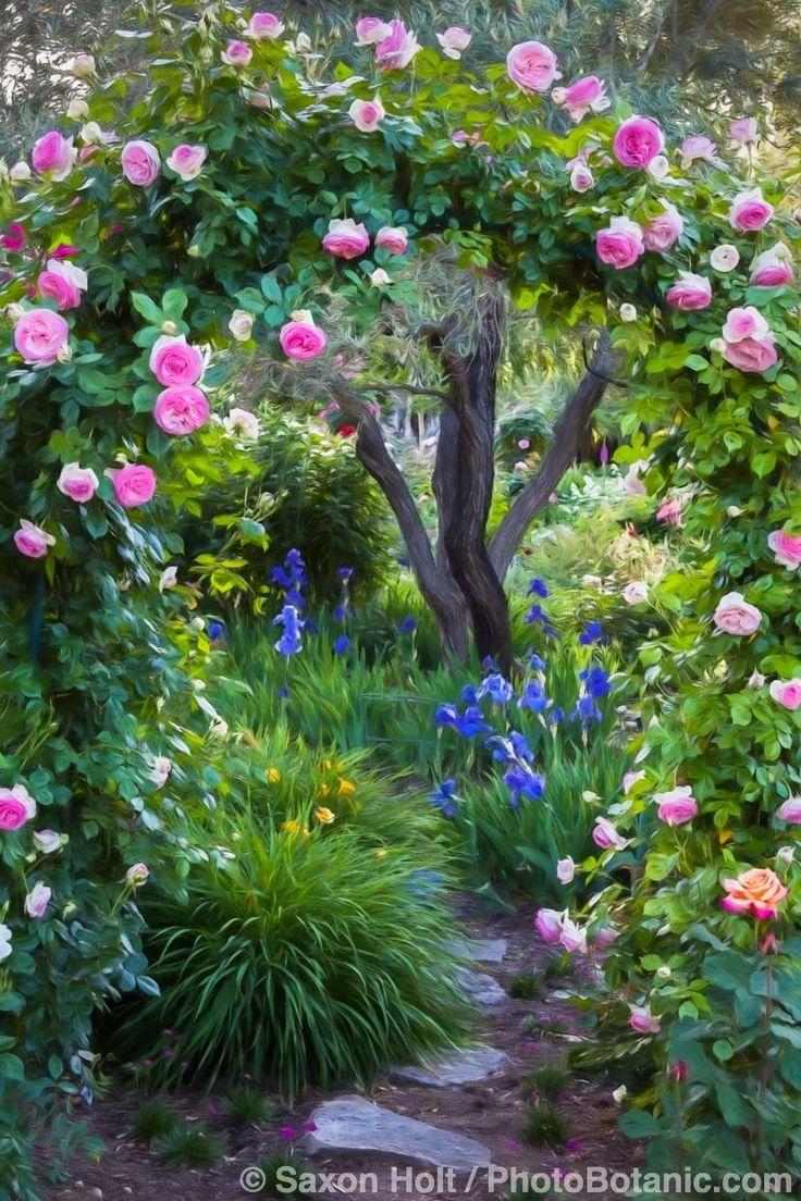 Garden Path Through Arbor with Eden Rose.