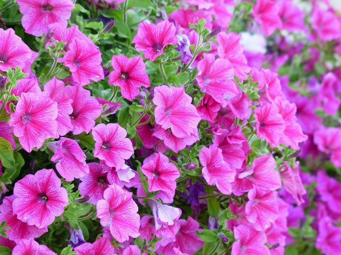 How To Grow Petunia Annual Flower Information Information On 50 Different Types Of Annuals How To Grow Pla Container Plants Flower Pots Container Flowers