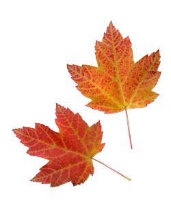 Hojas de oto o x haga clic aqu para ver las flores - Descargar autumn leaves ...