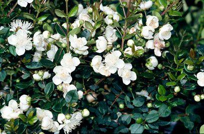 RHS Plant Selector Luma apiculata AGM / RHS Gardening can be varigated named glanleam gold