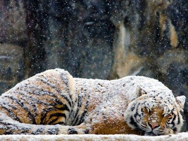Tiger lassen sich von ein bisschen Schnee nicht aus der Ruhe bringen