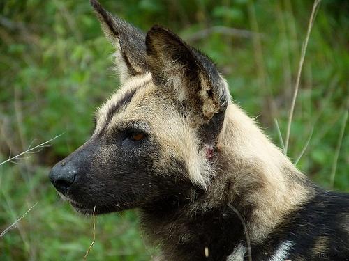 African Wild dog, Kruger National Park - South Africa