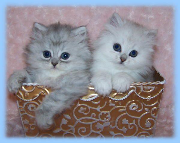 Pretty little Persian kitties awwwwwww                                                                                                                                                                                 More