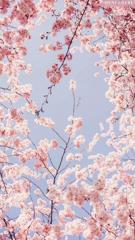 Cherry Blossom Wallpaper Free Mobile Cherry Blossom Wallpaper Flower Phone Wallpaper Iphone Background Wallpaper
