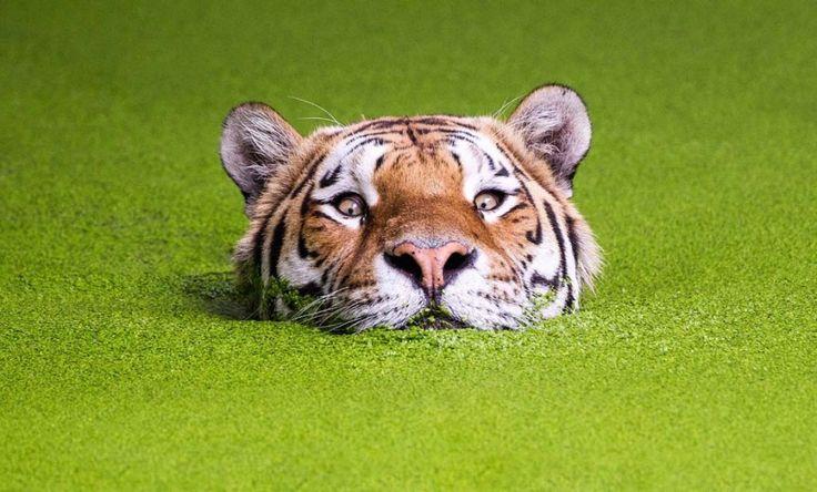 Baignade dans un smoothie vert: au lieu de se jeter sur un gros morceau de viande, ce tigre semble avoir décidé de se mettre au vert. Ce tigre de Sibérie barbote dans une mare remplie d'algues vertes, qui ressemble à s'y méprendre à un délicieux smoothie aux légumes. Même si le félin ne semble pas très à l'aise au début, il finit par y prendre goût et effectue même plusieurs longueurs dans sa piscine de 20 mètres de long du zoo de Copenhague. Ce cliché a été pris par le photographe Soren…