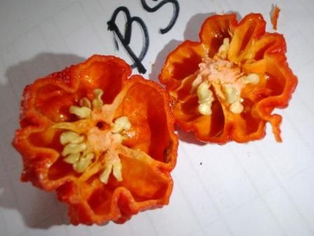 Capsicum chinense 'Brainstrain Red' cross section of the pod