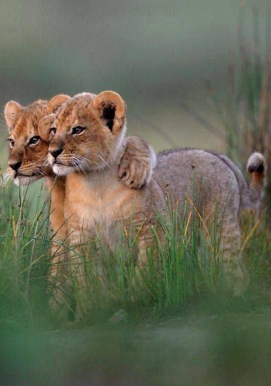 De leeuwtjes slaan een arm om elkaar heen.