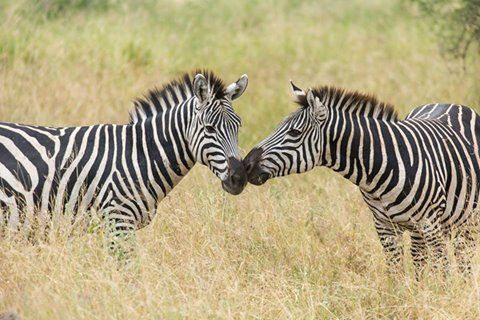 Zebra kiss!   Photo credits: Robyn Simon John, who spent time at Oliver's Camp | Asilia Africa, The Highlands - Asilia Africa & Sayari Camp | Asilia Africa.