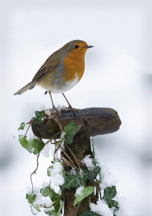 Robin In The Snow Photograph