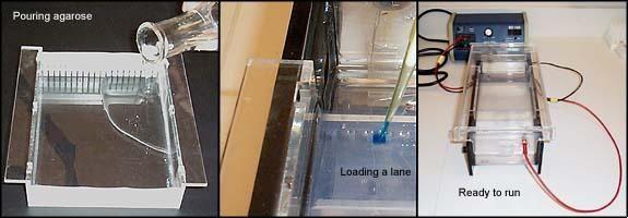 Agarose Gel Electrophoresis of DNA explains gel electrophorsis