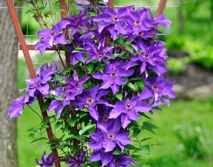 Clematis Im Garten Pflanzen Tipps Vom Profi Clematis Garten Im Pflanzen Profi Tipps Vom Woodland Purple Clematis Clematis